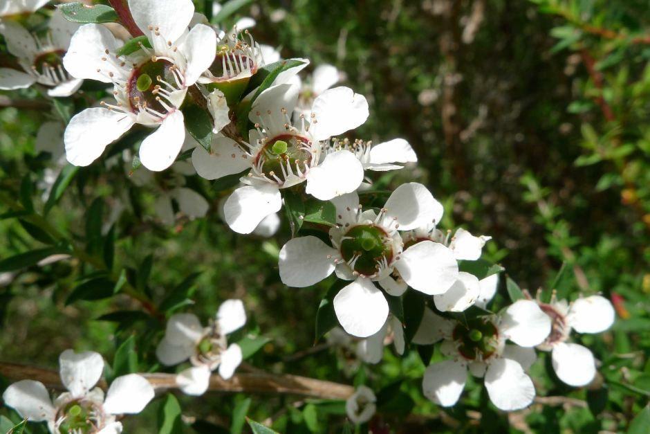 Tea tree mosquito repllent plant