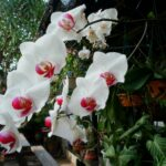 Jenis anggrek asli Indonesia