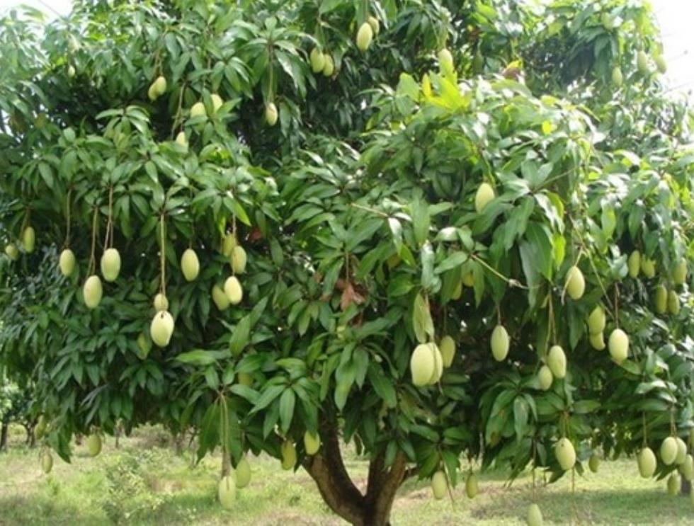 pohon mangga untuk peneduh di halaman