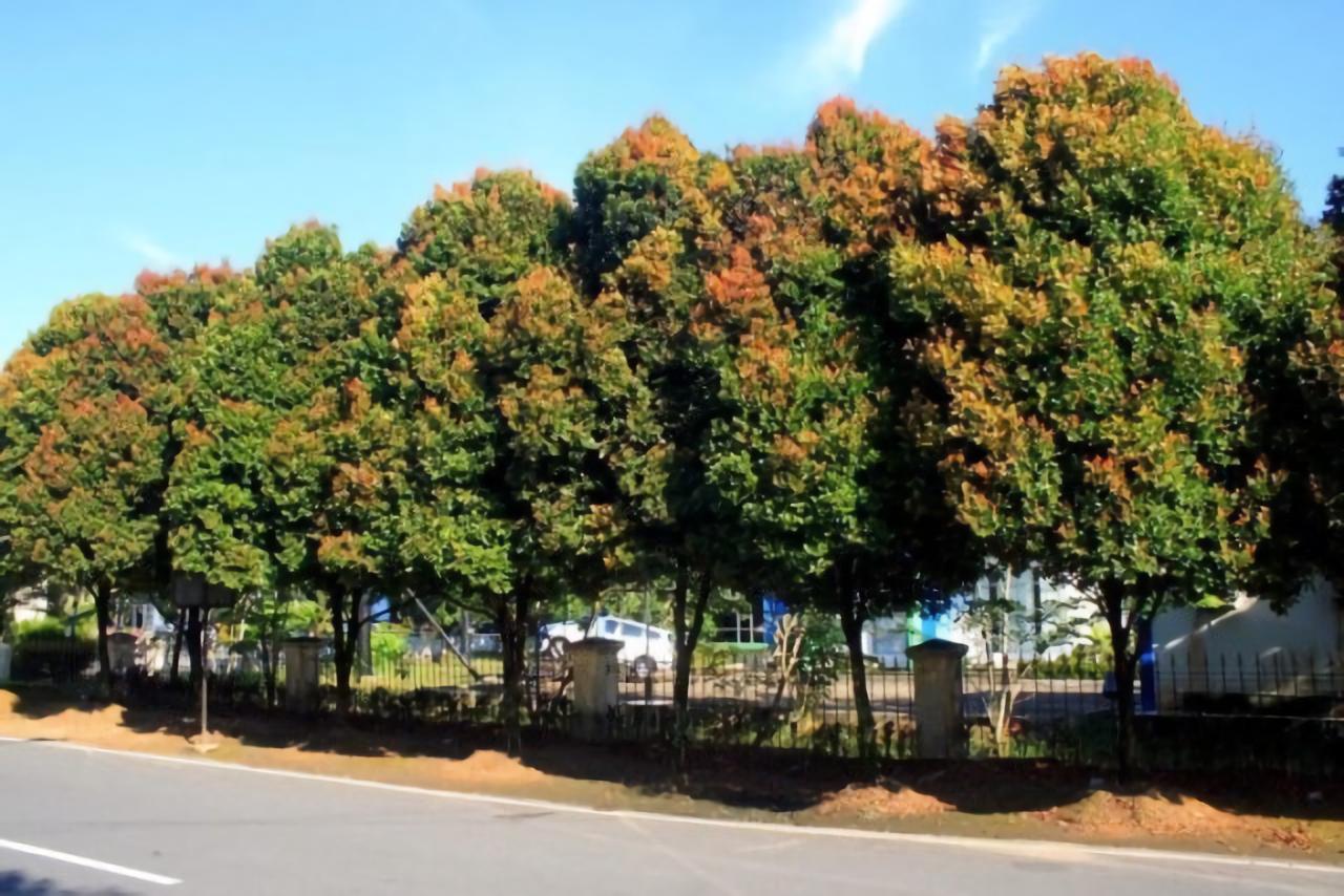 jenis pohon peneduh rumah - pohon pucuk merah