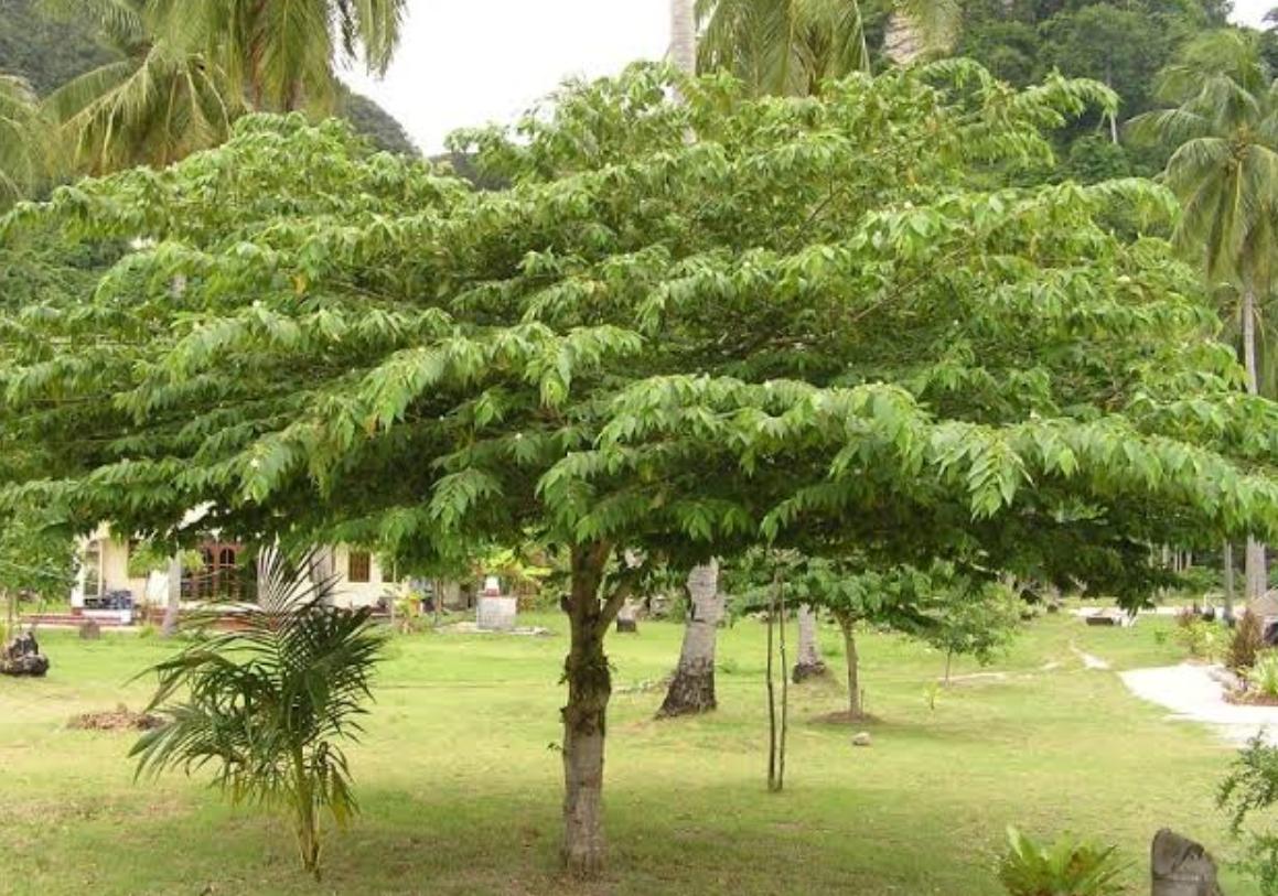 jenis pohon peneduh rumah - pohon kersen