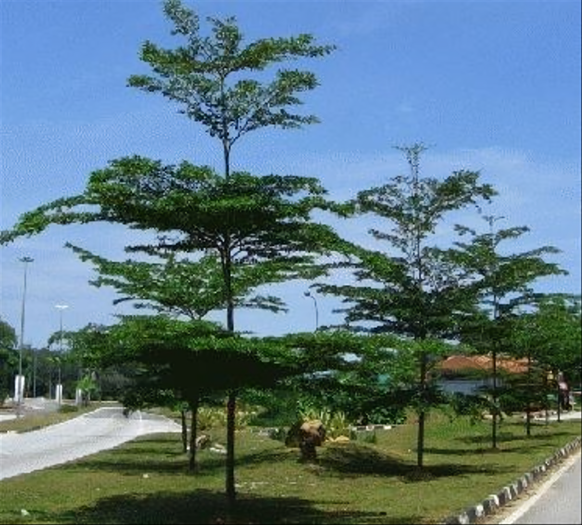 jenis pohon peneduh rumah - pohon ketapang kencana