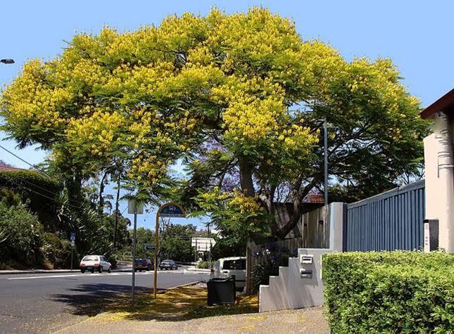 jenis pohon peneduh rumah - pohon angsana