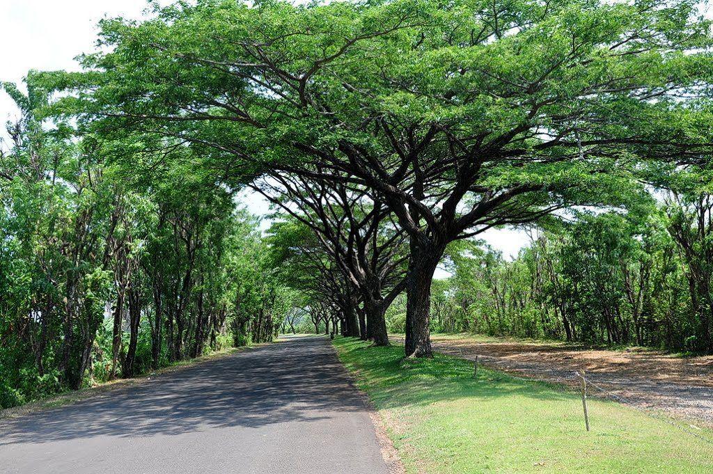 jenis pohon peneduh - pohon tanjung