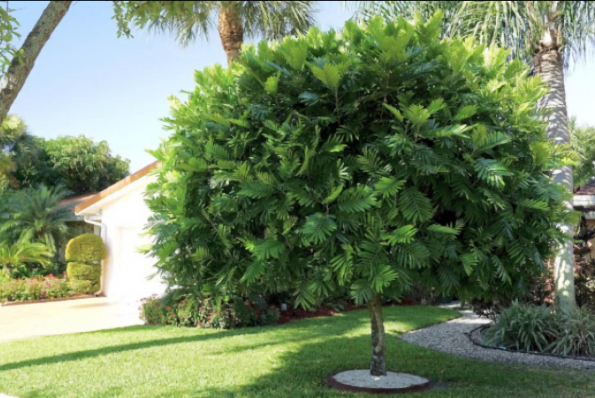 jenis pohon peneduh rumah - pohon kiara payung
