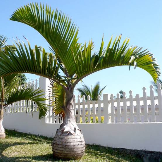 jenis pohon peneduh rumah - pohon palem
