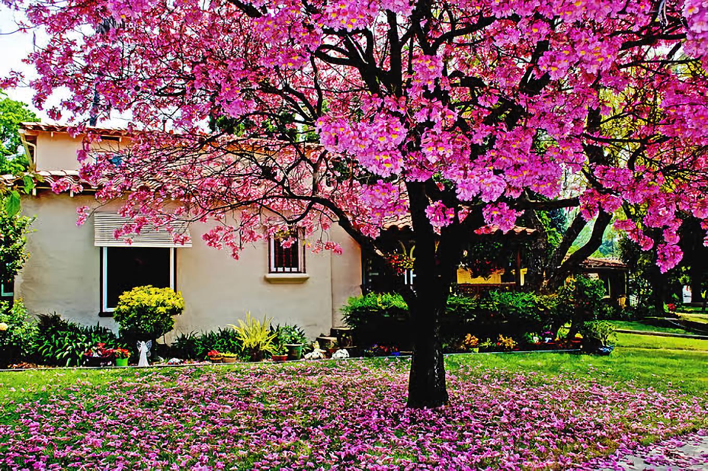 9 Jenis Pohon Peneduh Terbaik Untuk Rumah Adem Dan Asri