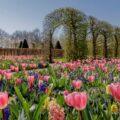 Keukenhof, salah satu taman yang memberikan tur taman virtual